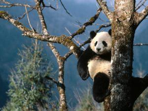 Chengdu Panda Breeding and Research Center-2